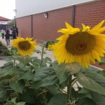 sunflowers in cambridge primary school garden 2015 2