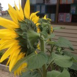 sunflowers in cambridge primary school garden 2015 6