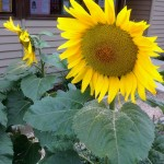 sunflowers in cambridge primary school garden 2015 7