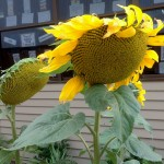 sunflowers in cambridge primary school garden 2015 8
