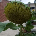 sunflowers in cambridge primary school garden 2015 10