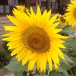 sunflowers in cambridge primary school garden 2015 12