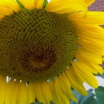 sunflowers in cambridge primary school garden 2015 14